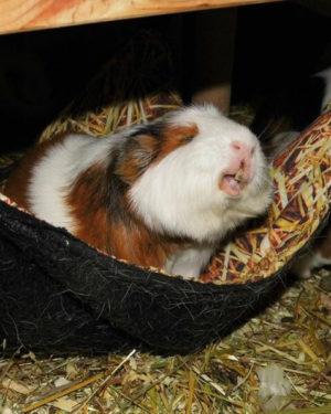 Meerschwein-Hängematte mit Strohmuster