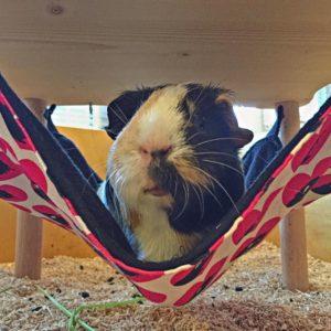 Ein Meerschweinchen macht es sich in einer Nager-Hängematte im Stall gemütlich